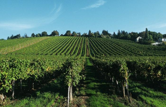 Weinkultur Weinterrasse. Foto: ©WienTourismus, por Karl Thomas