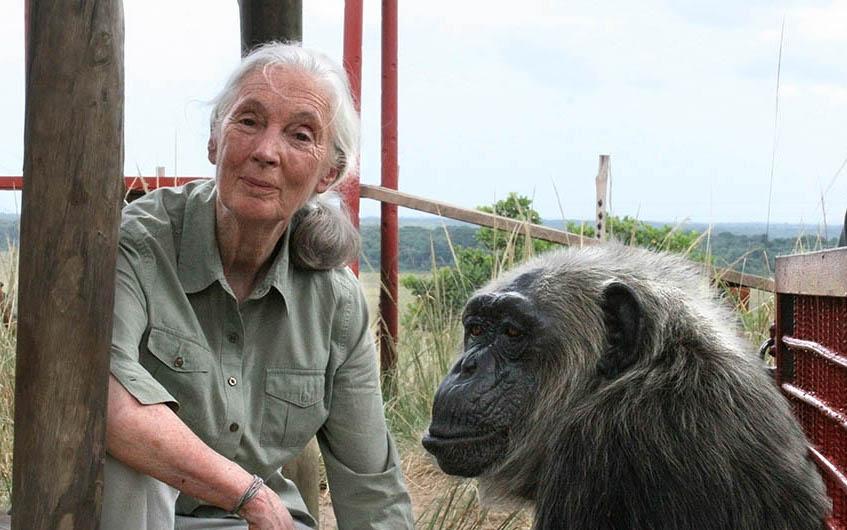 Jane Goodall junto a la chimpancé rescatada LaVielle en el centro de rehabilitación Tchimpounga Chimpanzee Rehabilitation Center en la República del Congo. Foto:©Jane Goodall Institute/Fernando Turmo